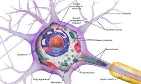 Nerve Cells Neurons Structure Function Adaptations