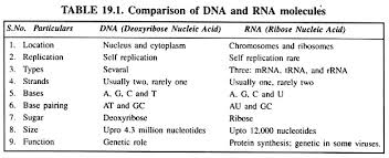 essay on rna top essay on rna comparison of dna and rna molecules