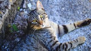 <b>European</b> Shorthair <b>Cat</b> Basics | PrettyLitter