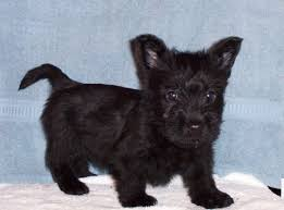 scottish terrier puppies. Wonderful Terrier Scottish Terrier Puppies Dogs For Sale In Atlanta Georgia GA  Savannah Sandy Springs Roswell To Terrier Puppies