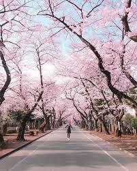 Bunga Sakura Seperti Tahun Lalu Bunga Sakura Di Jepang Bakal Mekar Lebih