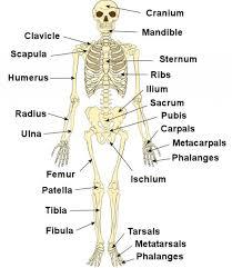 human bones labeled   anatomy human body    human bones labeled tag human bones diagram labeled human anatomy diagram
