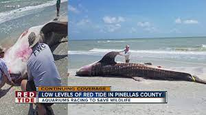 red tide in Manatee County ...