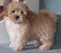 fluffy puppies o connell nsw