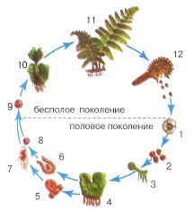 Жизненные циклы у высших растений Биология Реферат доклад  Жизненный цикл папоротника 1 спорангий 2 стадия четырёх спор 3 молодой гаметофит 4 зрелый гаметофит 5 антеридий 6 архегоний