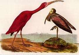 scarlet ibis jpg john james audubon art gallery