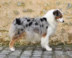 baby australian shepherd. Exellent Shepherd Sonrise Million Dollar Baby To Australian Shepherd P
