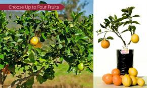 Hereu0027s How You Can Grow Different Types Of Fruit All On ONE Different Fruit Trees