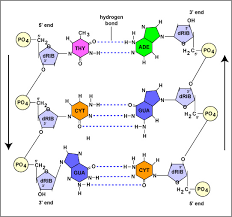 How Do Hydrogen Bonds Contribute To The Structure Of Dna