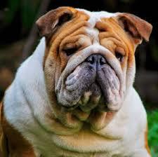 english bulldog puppies for