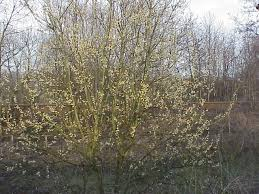 Salicaceae - Wikipedia