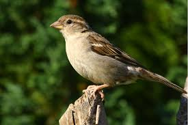 Image result for sparrow