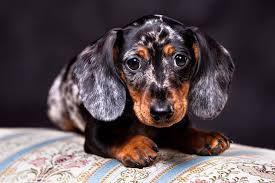 Dachshund Color Chart Dachshund Dog Breed Information