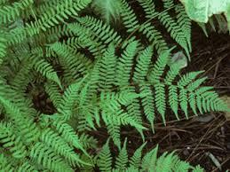 Athyrium filix-femina (Common lady fern) | Native Plants of North America