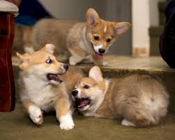 corgi puppy playing. Delighful Puppy Because You Just Canu0027t Have Enough Corgi Puppies Inside Corgi Puppy Playing L