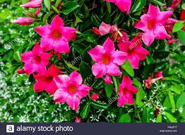 red mandevilla sanderi also called dipladenia sanderi and brazilian jasmine rocktrumpet stock image