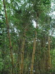 Bambusa vulgaris - Wikipedia