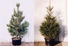 potted xmas tree, potted christmas tree, living tree