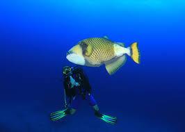 triggerfish bite. Modren Triggerfish Thailand Scuba Diver With A Titan Triggerfish And Triggerfish Bite I