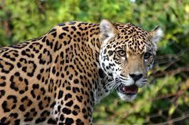 baby jaguar wallpaper.  Jaguar Baby Jaguar Wallpaper For Jaguar Wallpaper