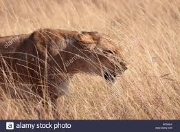 lioness stalking in grass. Wonderful Lioness Lioness Stalking Through The Grass In Masai Mara National Reserve Kenya  Africa  Stock Image And Lioness Stalking In Grass Alamy