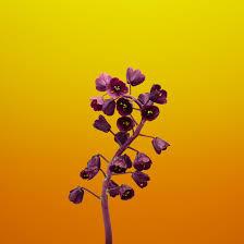 1242x2688 Ios 11 Flower Fritillaria ...