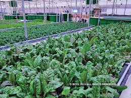 A Soil Free Success Aquaponic Agriculture On The Rise The