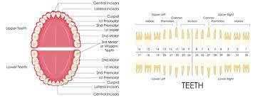Dental And Periodontal Charting Gum Charting Diagnostics Services Brian T Work