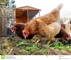 Brown chicken stock image. Image of fowl, pecking, agriculture ...