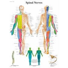 Back Nerve Chart Spinal Nerves Chart
