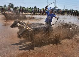 race log probolinggo cow race becomes annual tourism spectacle