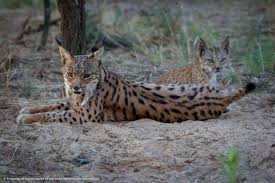 lynx size 15 things you need to know about the iberian lynx before this most