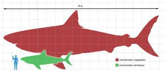 real megalodon shark sightings pictures.  Sightings How Big Was The Megalodon Shark Hereu0027s Vs Great White Shark To Real Shark Sightings Pictures S