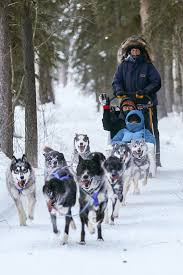 dog sled rides fairbanks alaska just short of magic