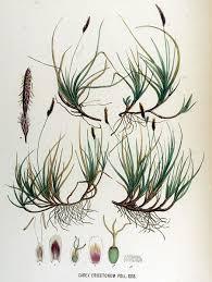 File:Carex ericetorum — Flora Batava — Volume v17.jpg ...