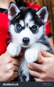really cute baby husky puppies with blue eyes. Interesting Blue Siberian Husky Puppy With Blue Eyes In Really Cute Baby Husky Puppies With Blue Eyes U