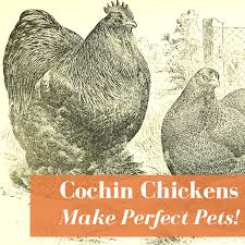 Cochin Chicken Color Chart Cochin Chickens Eggs Colors Personalities More