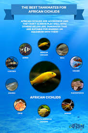 African Cichlid Aggression Chart African Cichlids For Sale The Ultimate Guide To African