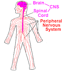 Central Nervous System Vs Peripheral Nervous System Venn Diagram The Cns And Pns The Main Divisions Of The Nervous System