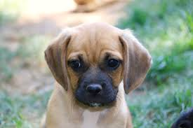 black and brown puggle. Unique Brown Black Puggles Are 8001000 Intended And Brown Puggle W