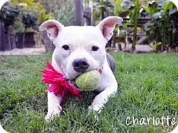 bull terrier bulldog mix. Wonderful Bulldog And Bull Terrier Bulldog Mix
