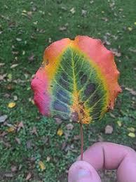 Fall Leaf Color Chart Autumn Leaf Color Wikipedia