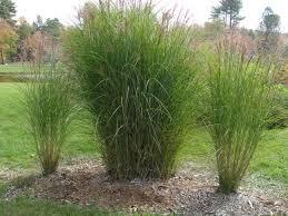 Tall Decorative Grass Garden Design Garden Design With Popular Ornamental Grass