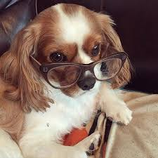 cavaliers dogs. Delighful Cavaliers Cavaliers Are Extremely Intelligent Dogs And Even Puppies Very Fast Learners To Dogs L