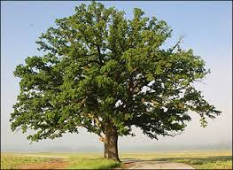 Image result for Chestnut Oak Tree