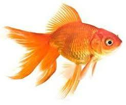 fantail fish. Plain Fantail Fantail Goldfish  The Temperament Of The Gold Fish Is A Community  Fish Family Cyprinidae Native To China And Japan Diet Omniv On Fish L