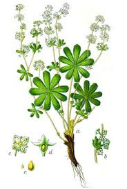 Alchemilla alpina Alpine Lady's Mantle, Mountain Lady's Mantle ...
