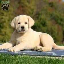 jaxon 1500 00 gap pa retriever yellow puppy