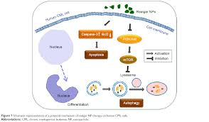 full text caveolin 1 contributes to realgar nanoparticle therapy figure 7 schematic representation of a potential mechanism of realgar np therapy on human cml cells abbreviations cml chronic myelogenous leukemia np