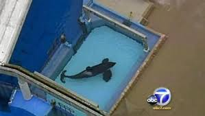 tilikum isolated. Delighful Isolated What Many Individuals Donu0027t Know Is What Happens Behind The Scenes Of  Killer Whale Performances They Are Taken From Their Natural Habitats And Put In  To Tilikum Isolated